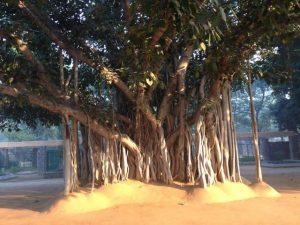 Banyan tree at entrance of Sanskriti Kendra