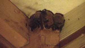 Bats Roosting in Attic