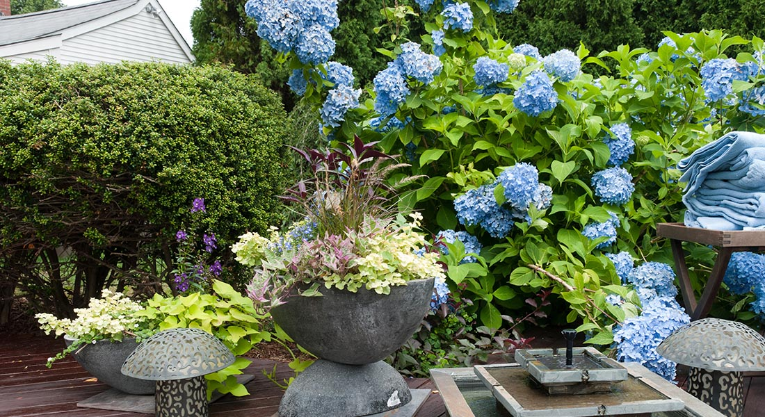 Wooden deck with plants and blue hydrangeas, plants, and shurbs