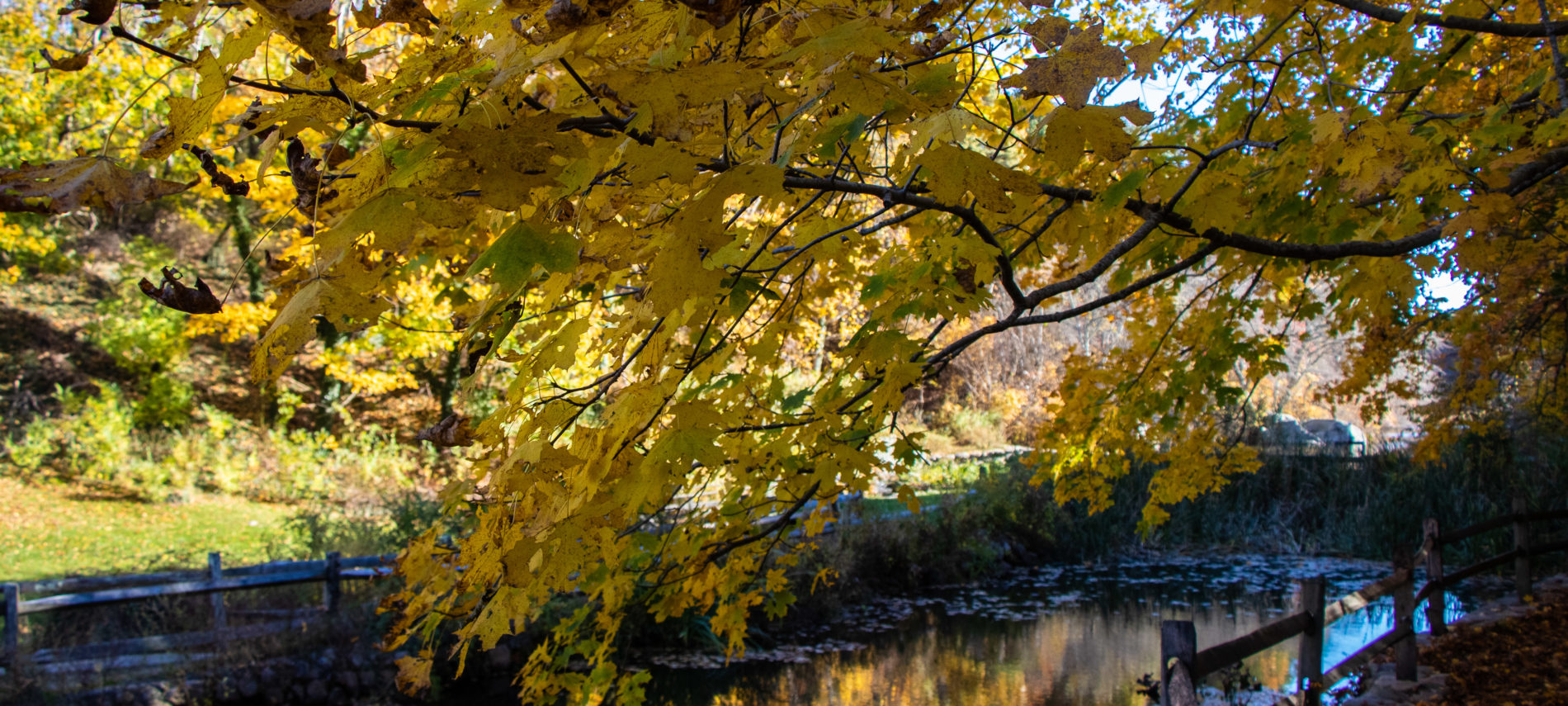 Tree with yellow leaves overlooking a creek on a sunny day with blue skies