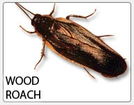 wood_roach