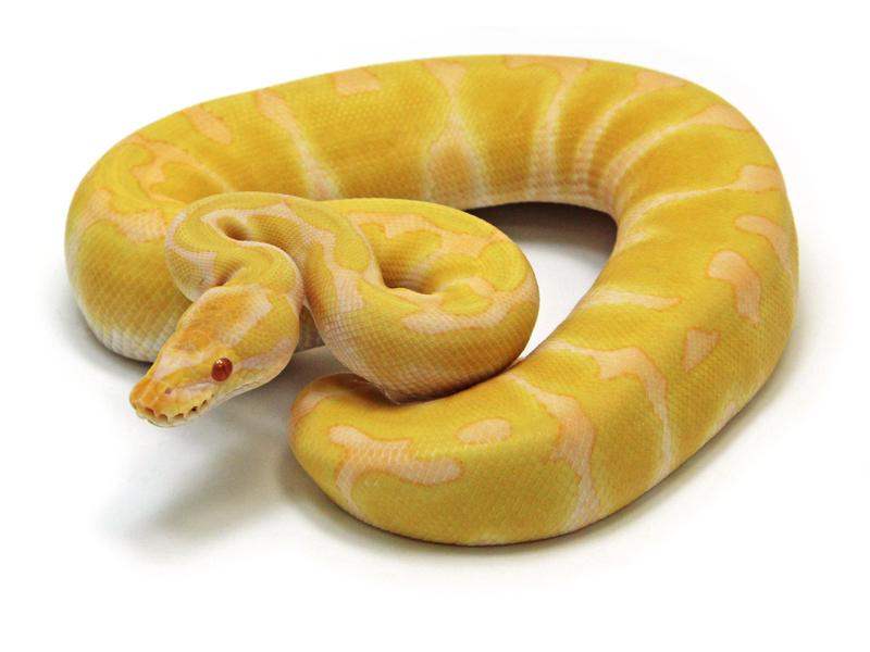 ball python, albino-enchi