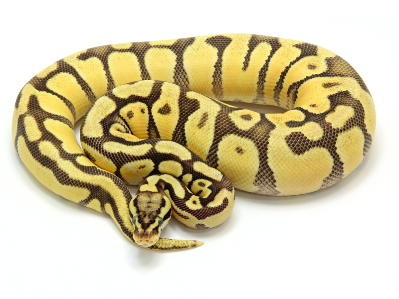 Ball Python, Enchi Firefly morph