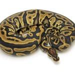 Ball Python, Leopard morph