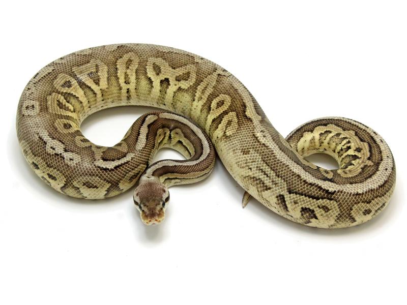 Ball Python, Pewter Specter morph