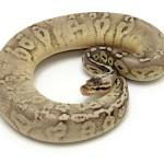 Ball Python, Sterling morph
