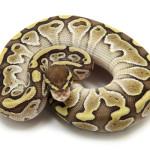 ball python, lesser butter