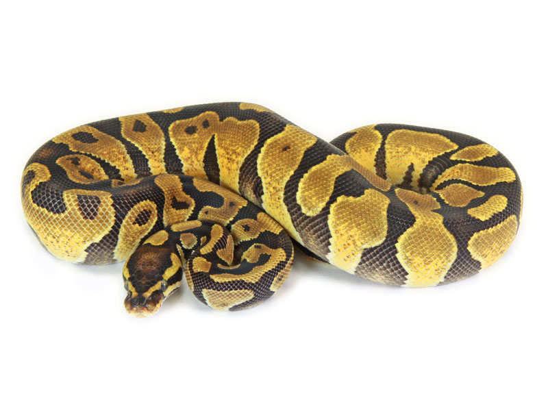 ball python, enchi