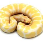 ball python, albino