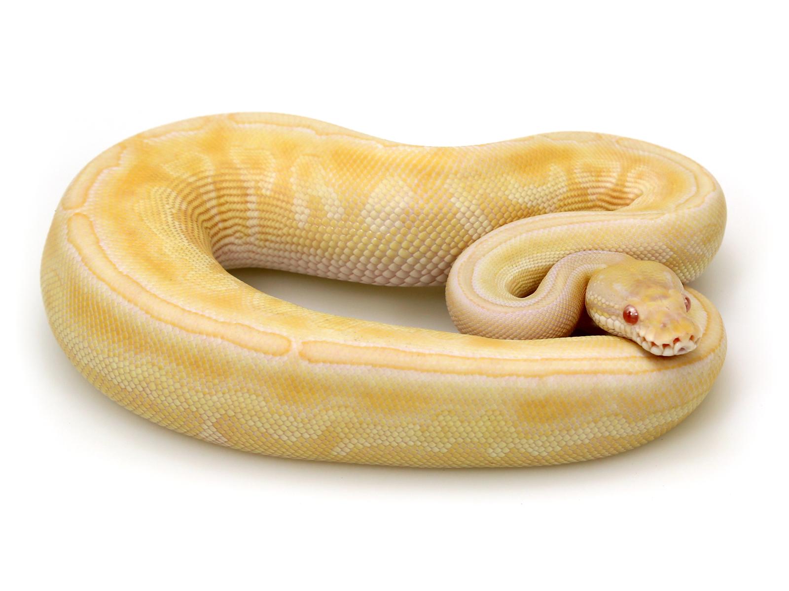 Albino Butter Black Pastel