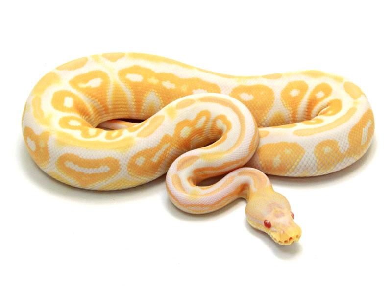 Albino Cinnamon