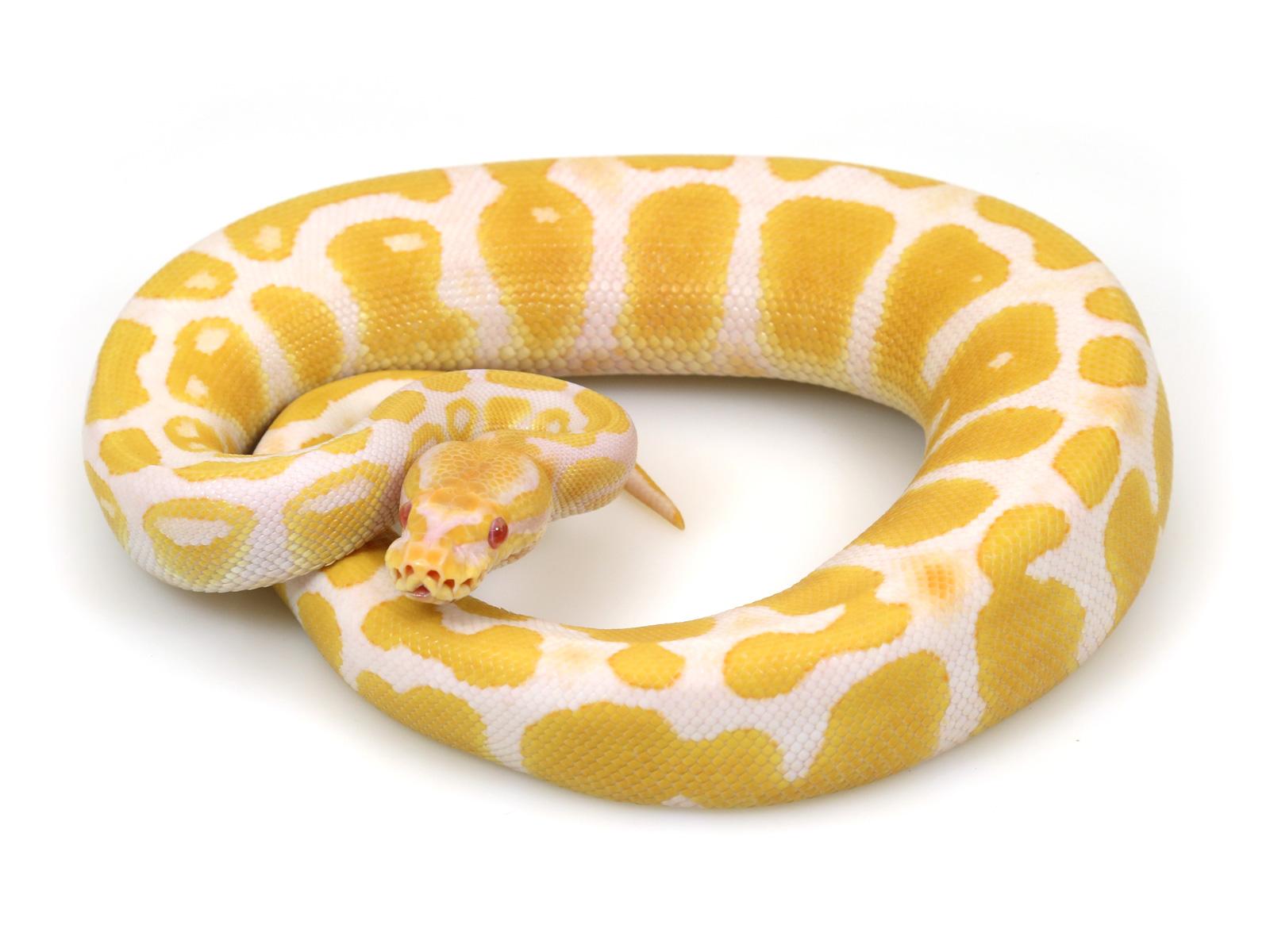 ball python, albino java