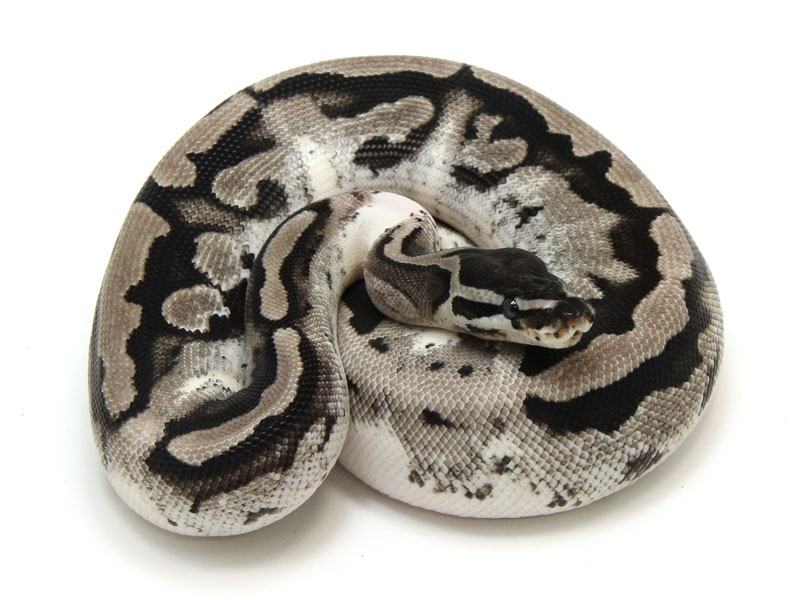 ball python, axanthic piebald low white