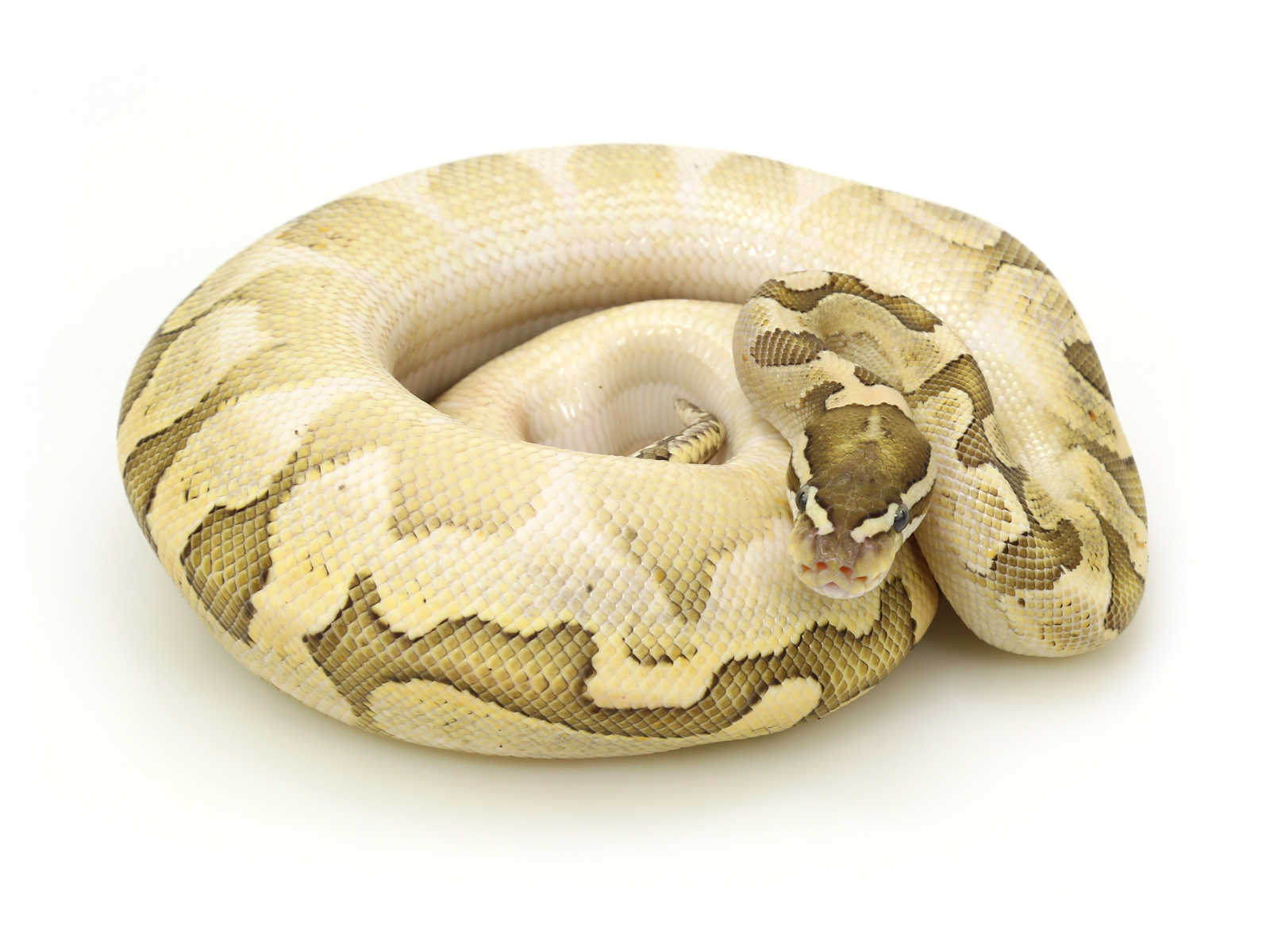 Bamboo Yellow Belly