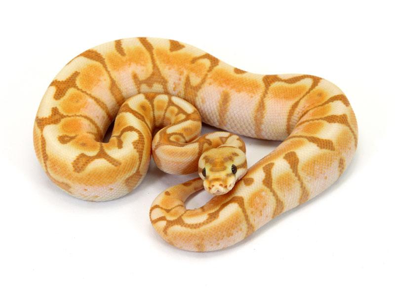 ball python, banana enchi cinnamon spidernnamon spider