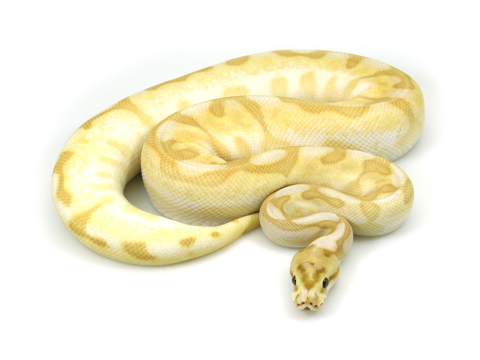 ball python, banana butter enchi spider