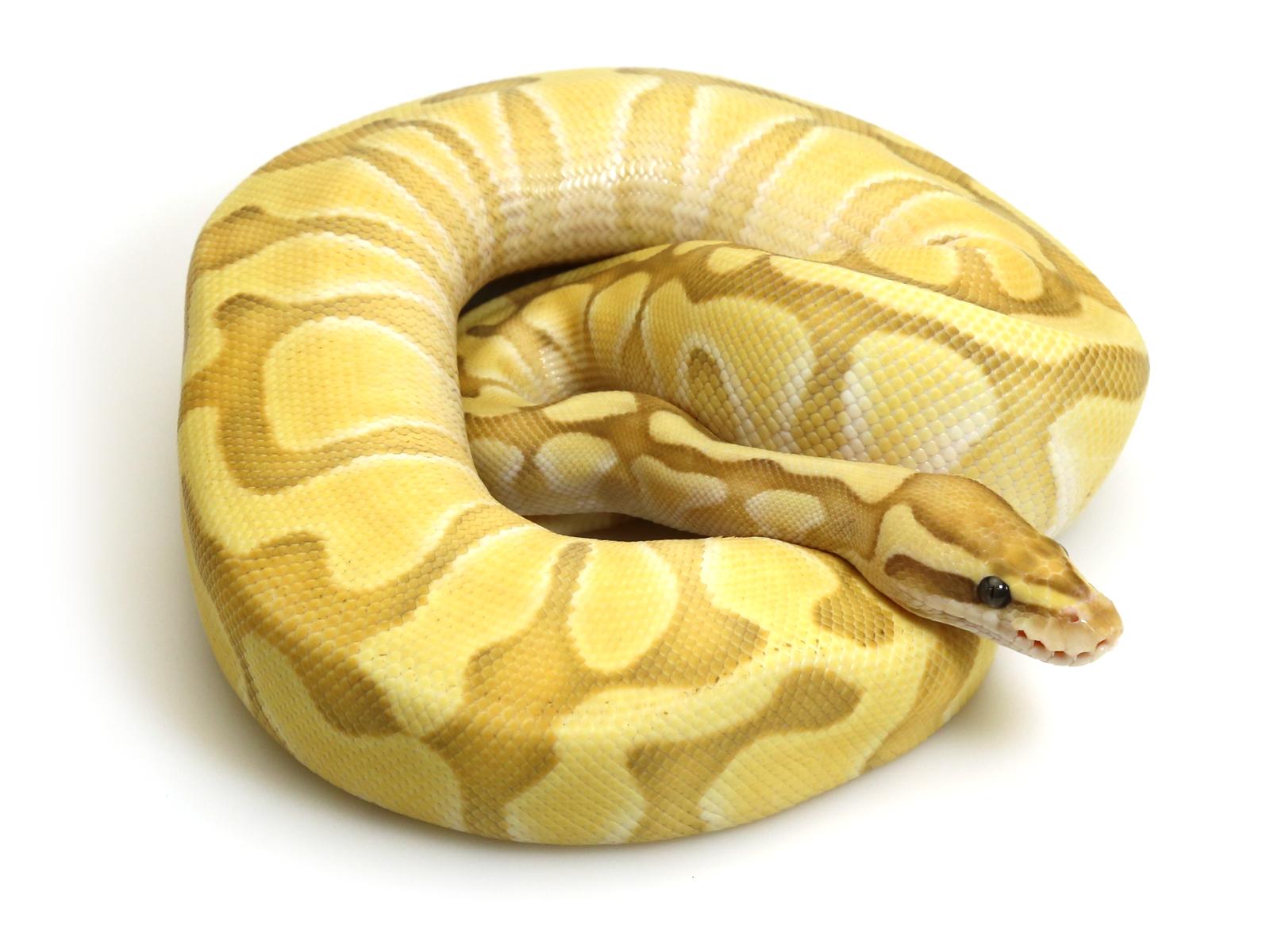 Banana Butter Enchi