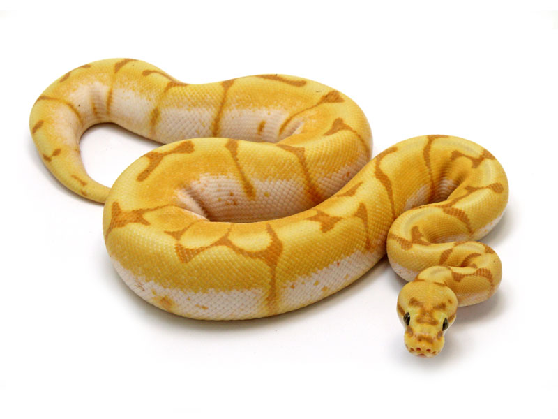 ball python, banana enchi spider