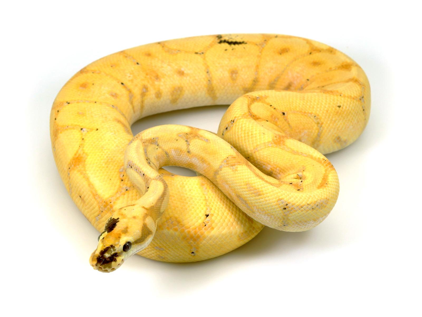 ball python, banana leopard spider