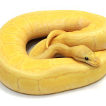 ball python, banana pastel pinstripe