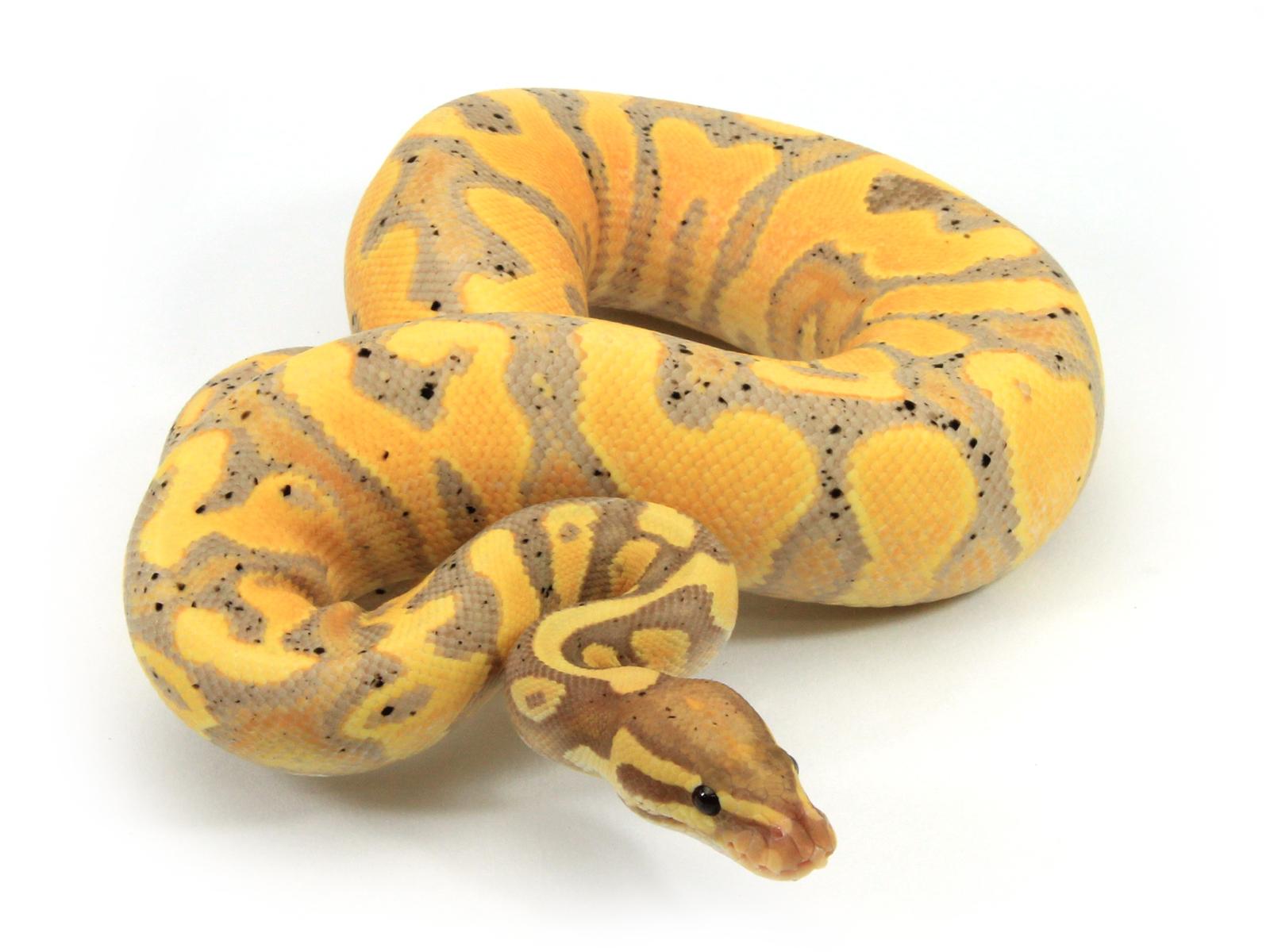 Banana Yellow Belly