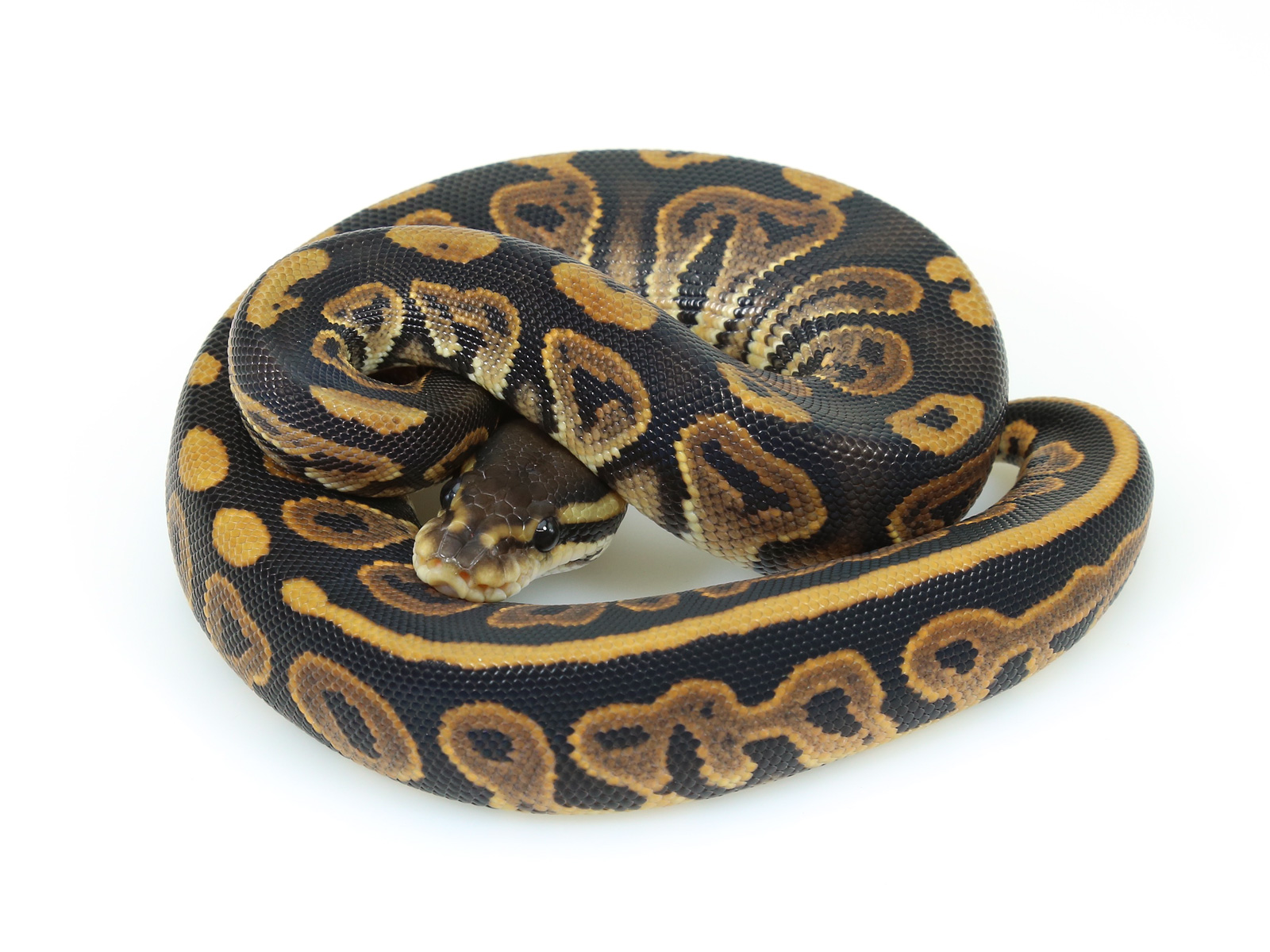 ball python, black pastel