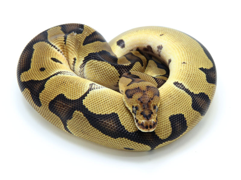 ball python, blade clown
