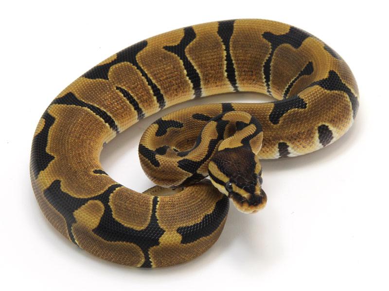 ball python, blade