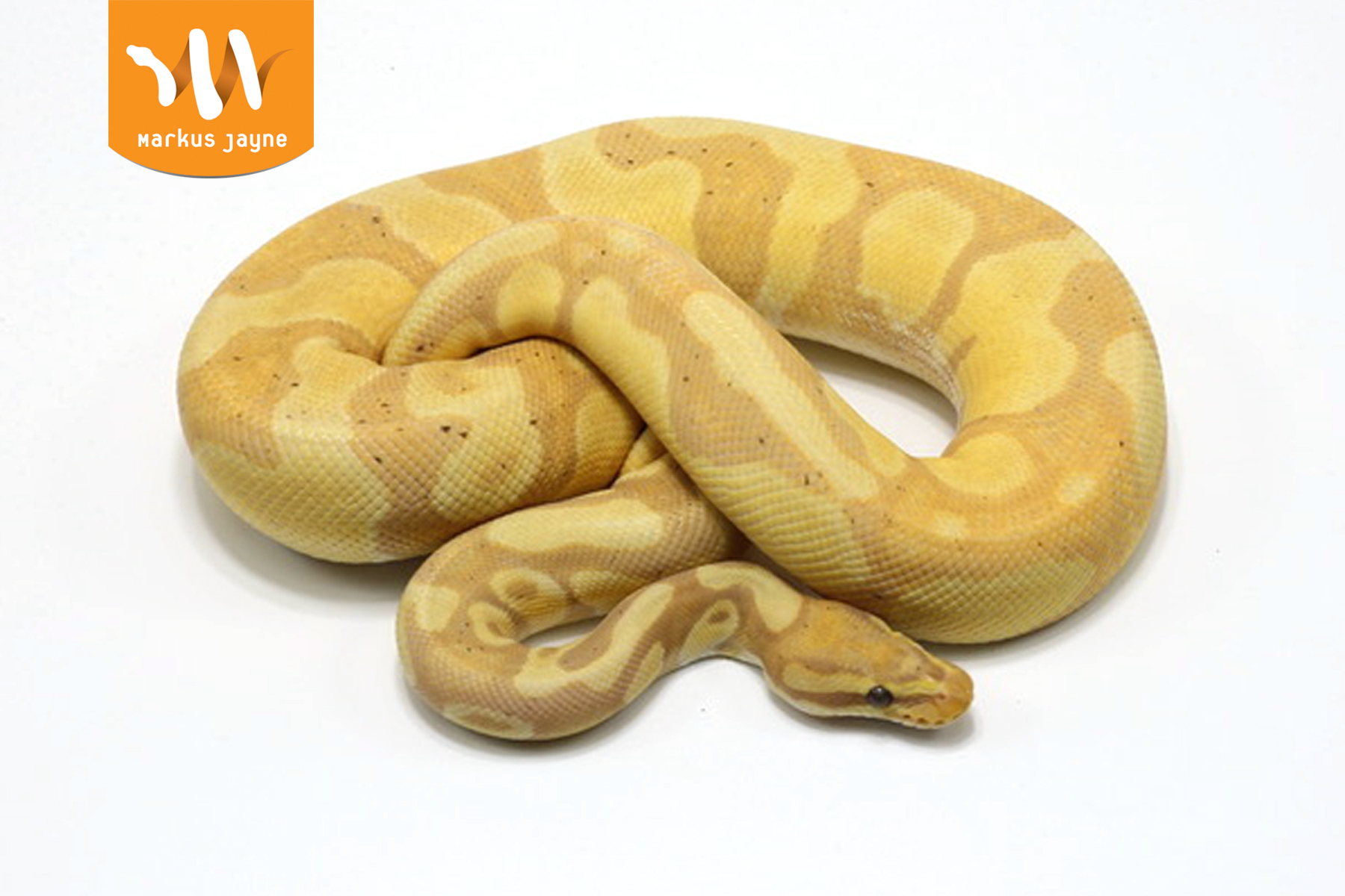 Banana Enchi Java Pastel 66 Piebald – Male – 2020