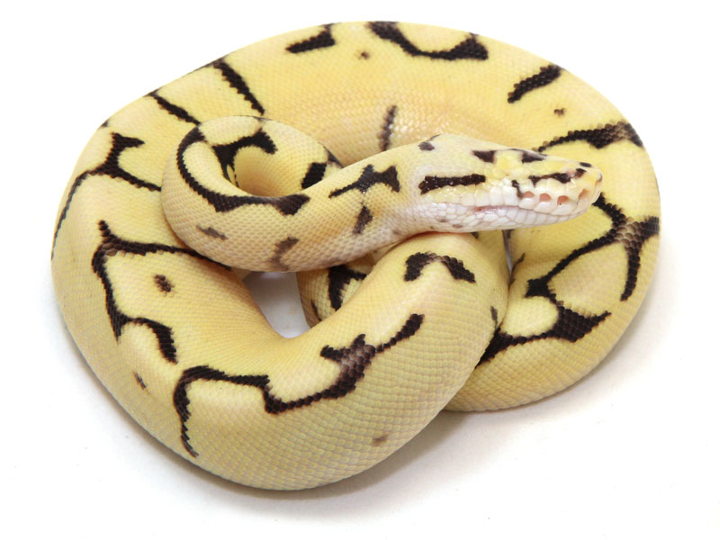 ball python, eyeless bumble bee fire