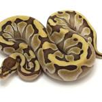 ball python, butter blade