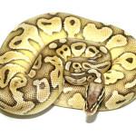 ball python, butter pastel fader