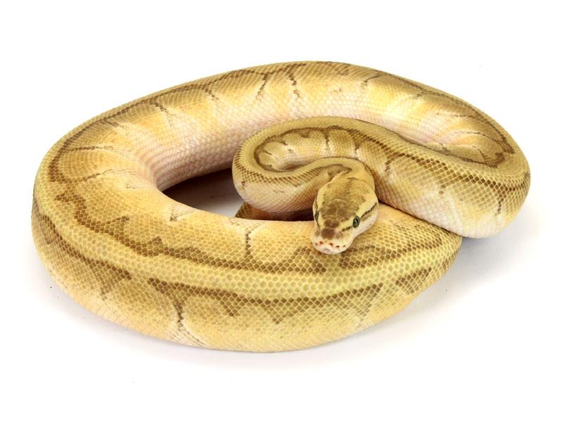 ball python, butter pastel pinstripe