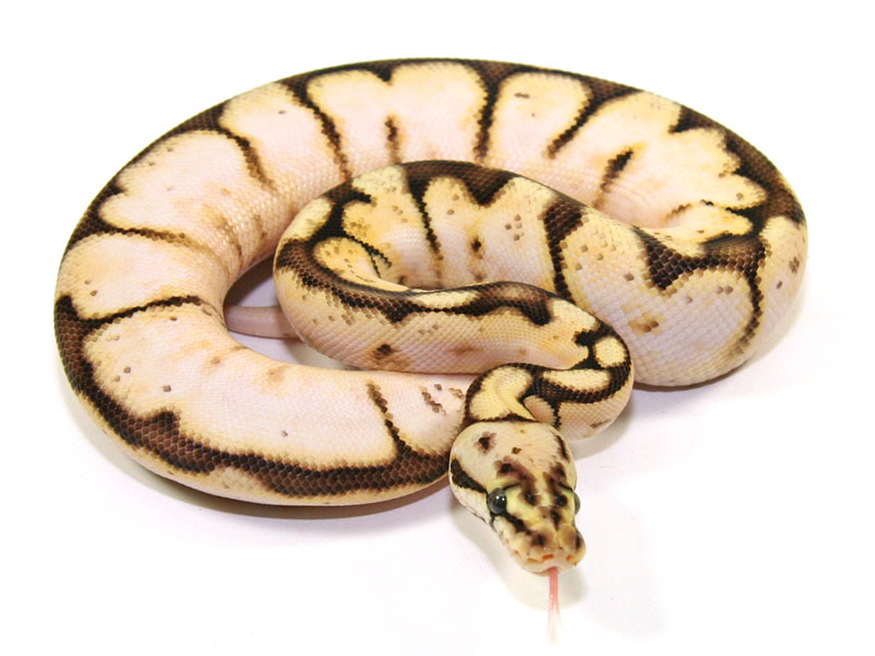 ball python, calico bumble bee