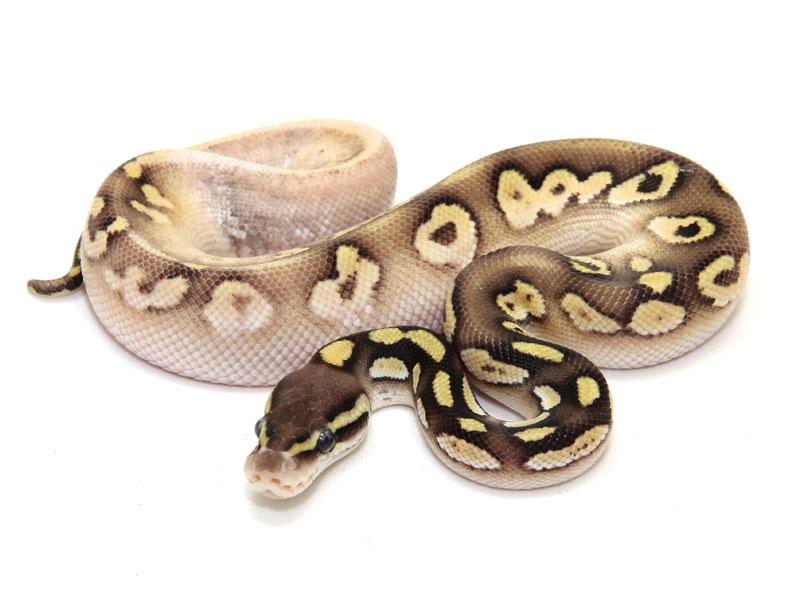 ball python, calico pastel mojave