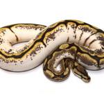 ball python, calico spider