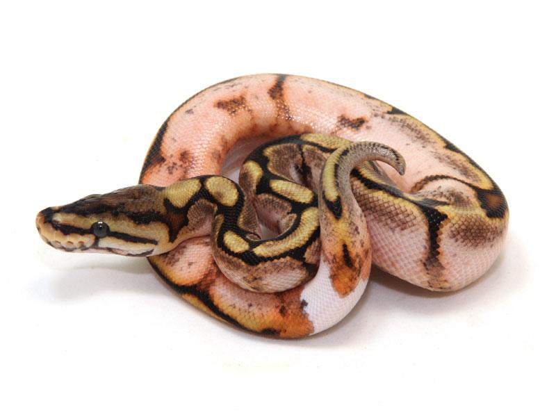 ball python, calico spider ringer
