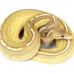 ball python, caramel cinnamon mojave