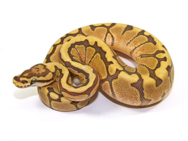 ball python, caramel spider