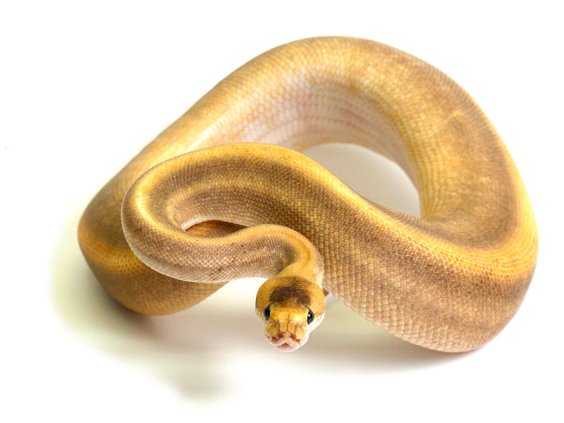 ball python, cinnamon champagne