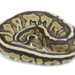 ball python, cinnamon specter