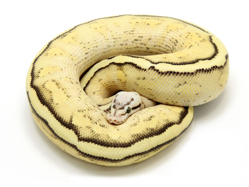 ball python, citrus pastel super stripe