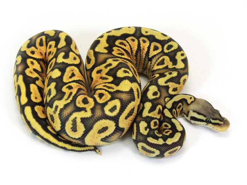 ball python, citrus pastel yellow belly ghost