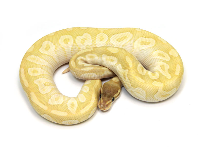ball python, crystal