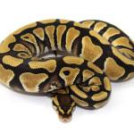 ball python, desert