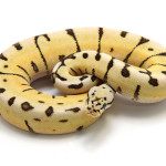 ball python, desert bumble bee