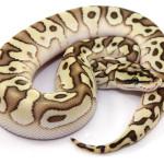 ball python, desert butter pastel