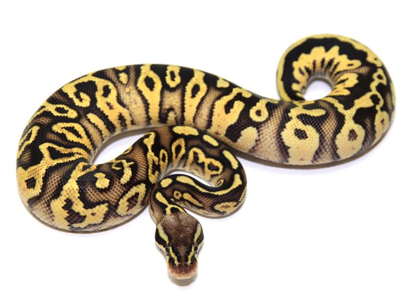 ball python, desert firefly