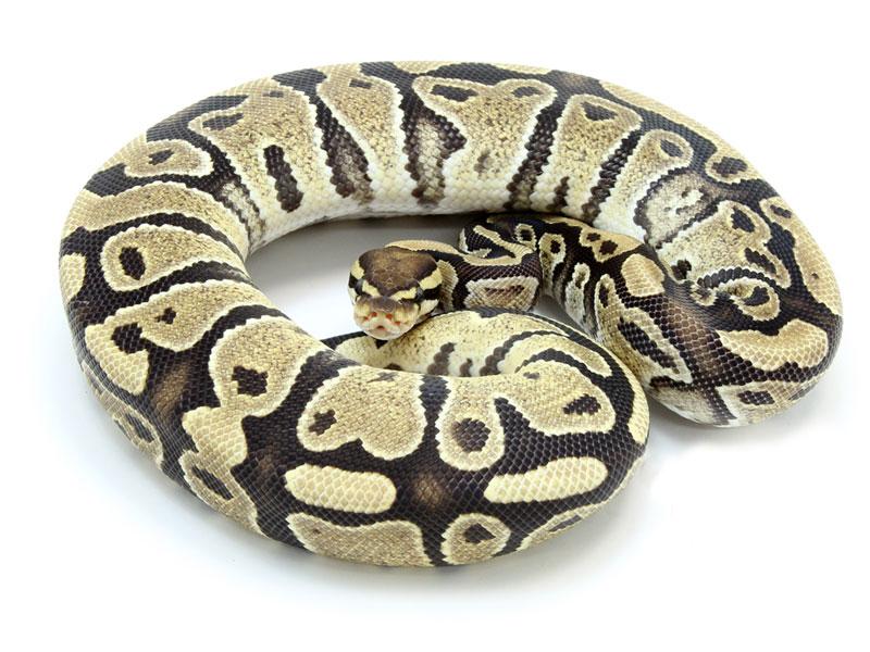 ball python, desert ghost
