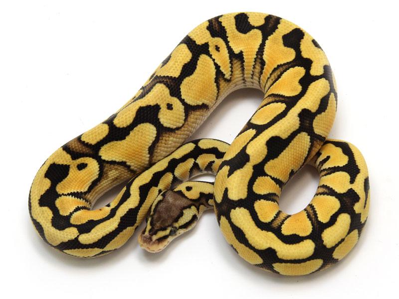 ball python, desert pastel